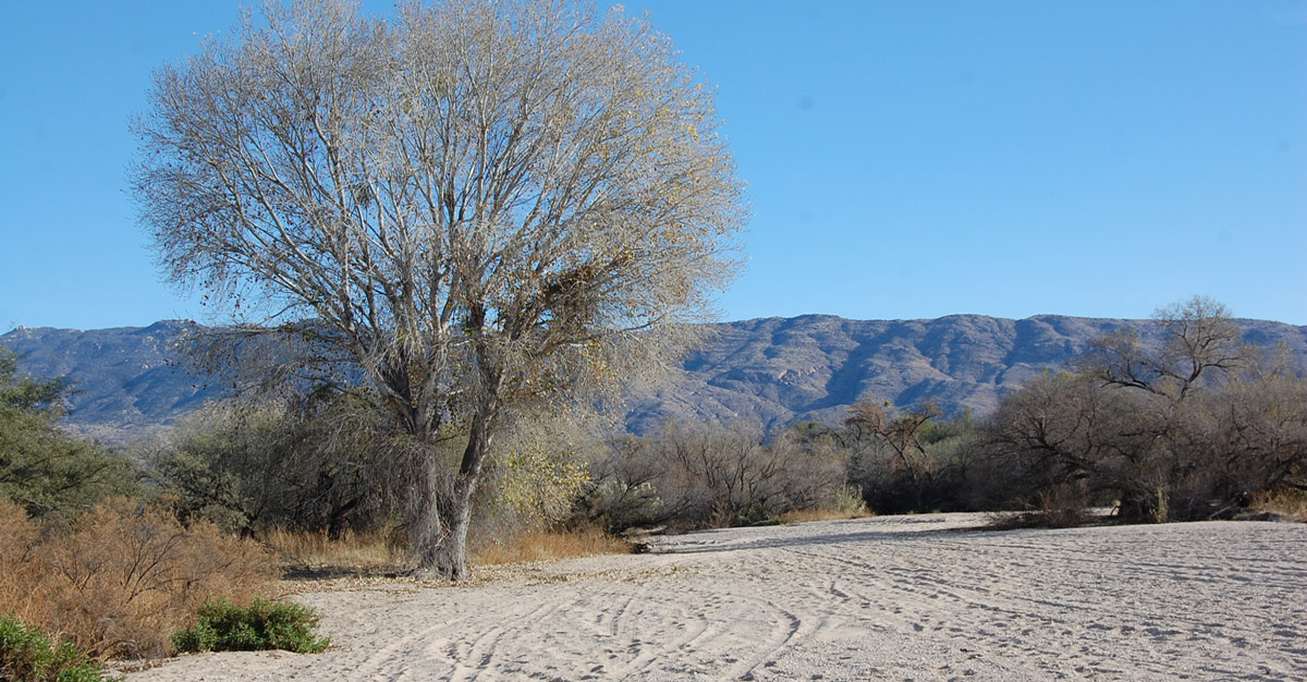 Overpumping and drought are drying up the pockets of shallow groundwater that support riparian habitat and flow in Tanque Verde.