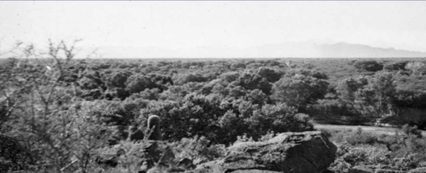 The Santa Cruz River in 1942, facing south toward the Santa Rita Mountains. Pictured is a vast mesquite bosque (forest), a highly productive riparian habitat found in the desert. Photo credit: U.S. Geological Survey.