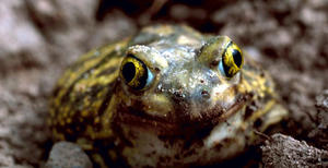 Couch's Spadefoot, by Gary M. Stolz, U.S. Fish and Wildlife Service.