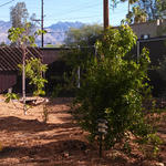 Sonoran food forests support a diversity of produce, including chilies, tomatoes, and figs.
