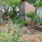 With greywater irrigation you can grow anything from figs, to peaches, to pomegranates in your own backyard.