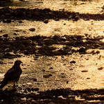 A Cooper's Hawk wades in the water. Photo by Julius Schlosburg