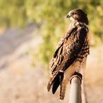 A Cooper's Hawk surveys the scene. Photo by Julius Schlosburg