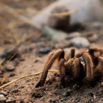 The amazing tarantula! Photo by Julius Schlosburg