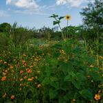 sunflowers-and-poppies