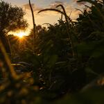 sunset-through-flora