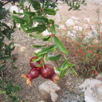 Fruiting pomegranate tree