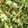 WMG Urban Pollinator